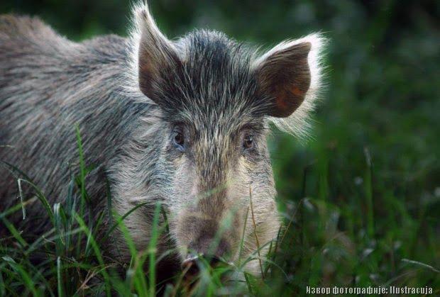 Дивља свиња